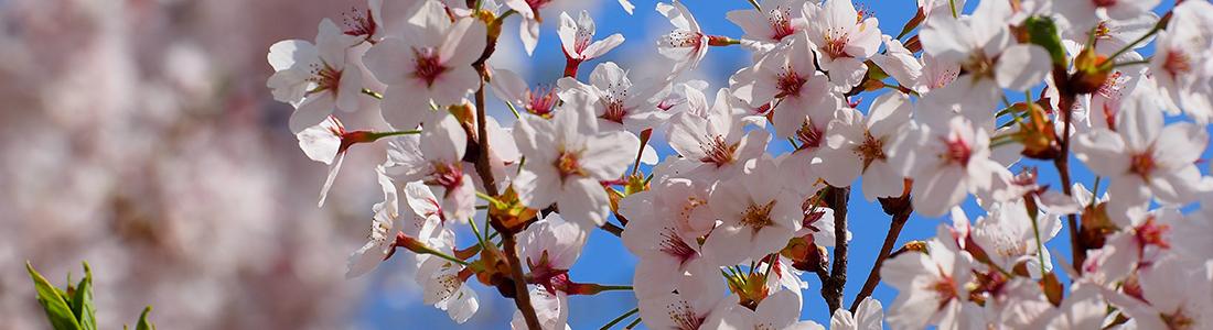 櫻花----立山黑部
